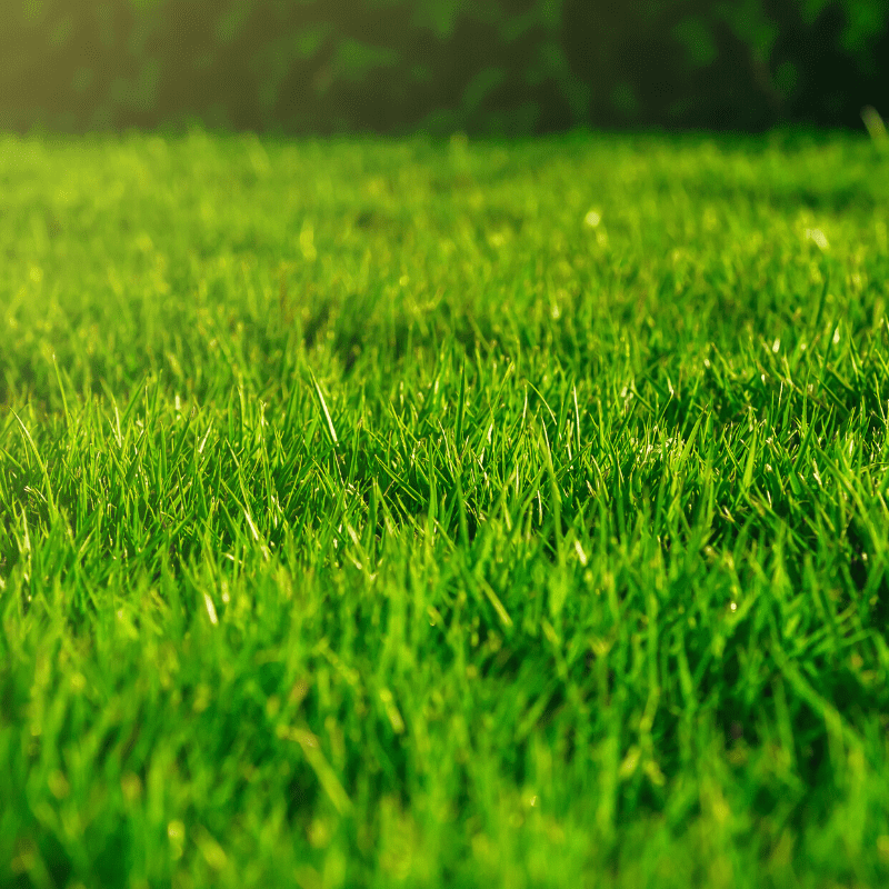 close up of a healthy lawn