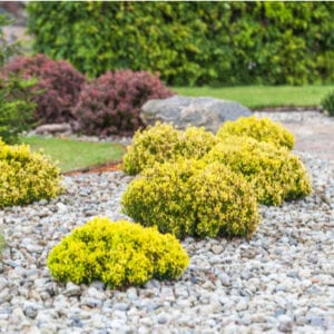 shrubs in landscaping