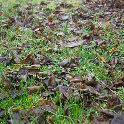 dead leaves on lawn